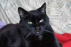 Rest in Peace (knightbefore_99) Tags: love bizzy kitty best sweet miss friend force will gato smart queen forever personality beloved fantastic awesome furry black noir