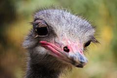 The Worlds Saddest Ostrich (photos_without_borders) Tags: ostrich animal bird outdoors nature canon canonusa canon7d canon50250 fowl flightlessbird beak bill eyelashes eye eyes eyeball lashes gatorandfriends greenwood louisiana