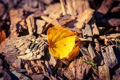 Sitting on a woodpile (golden hour) (vinnie saxon) Tags: leaf autumn fall wood nature goldenhour focus macro closeup pov nikoniste nikon d600