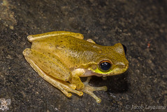 Cascade Treefrog (Litoria pearsoniana) (JLoyacano) Tags: amphibia australia cascadetreefrog cascadetreefroglitoriapearsoniana frog jacobloyacano litoriapearsoniana amphibian anura litoria treefrog wildlife