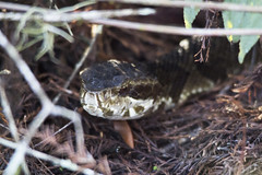 Cottonmouth (DFChurch) Tags: sixmile cypress slough reptile water moccasin cottonmouth nature animal wild wildlife swamp pitviper snake agkistrodonpiscivorus florida