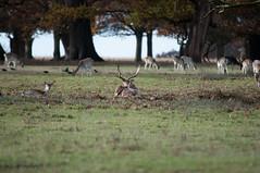 DSC_2511 (timmie_winch) Tags: timwinchphotography helmingham helminghamhalldeer helminghamhall helminghamdeer deer roedeer reddeer fallowdeer nikon d300 nikond300 50400mm sigma50400mmlens sigma wildlife wild wildlifephotographer wildlifephotography 2016 november november2016