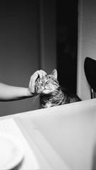 Pussy wants a treat (Alexander  Bulmahn) Tags: emma cat black white monochrome canon al 1 fd 50mm f18 ilford delta 400 xelriade
