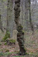 ckuchem-0279 (christine_kuchem) Tags: baumstamm baumstumpf bäume frühjahr frühjahrblüher frühling laubbäume laubwald moos stamm wald waldweg wulst bewachsen kahl kalhl naturnah äste