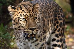 amurleopard JN6A7268 (j.a.kok) Tags: panter panther pantherapardusorientalis amoerpanter amurleopard amurpanther blijdorp mammal zoogdier predator asia azie roofdier