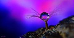 A jewel (gshaun12) Tags: macro macrodreams upclose nature fantasticnature seed dandylion drops art bokeh blue water reflection photoshop