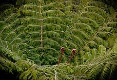 Fresh Fern ( WimKok) Tags: canon eos50d newzealand nieuwzeeland aotearoa fern varen plant boom tree ferntree fresh vers groen green lightroom abeltasmannationalpark southisland