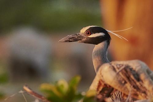 Yellow-Crowned Night Heron 1431 1