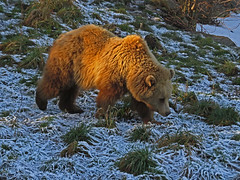Frosty walk (aniko e) Tags: ursus bear bär medve barnamedve braunbär brownbear ursusarctos wildpark wildparkpoing winter mammals european