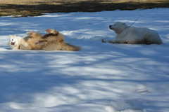 """Chase & Jag Imitating Each Other On A SNOW ROLL  32 • <a style=""""font-size:0.8em;"""" href=""""http://www.flickr.com/photos/96196263@N07/14029012840/"""" target=""""_blank"""">View on Flickr</a>"""