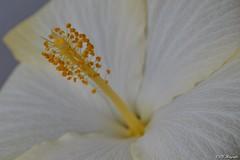 Nahaufnahme (CLZ-Fotografie) Tags: color colors thringen nikon natur pflanzen blumen thuringia blume blte farbe hibiskus nahaufnahme farben frhling exotisch d3200 clz