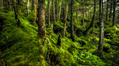 The Moss Garden (Robert Clifford) Tags: trees tree green forest woodland moss woods newhampshire mossy robertallanclifford