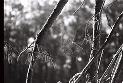 Spiderweb ( Pompas de Jabn ) Tags: bw naturaleza white black byn film nature 35mm arbol spider woods arboles tmax spiderweb bosque pelicula 400asa rollo telaraa teladearaa necochea miguellilio