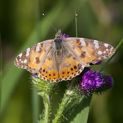 Vanessa cardui (Ouwesok) Tags: butterfly insect vlinder distelvlinder vanessacardui oostvaarderplassen canoneos30d tokinaatxsd40056400mm