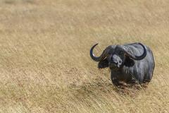 Búfalo (Jose Allende) Tags: africa animals buffalo animales masaimara synceruscaffer africanbuffalo mamals búfalo búfaloafricano