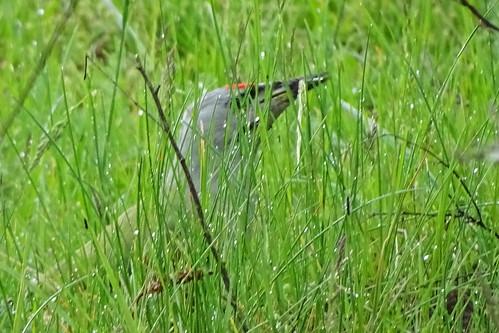 Gray-headed Woodpecker (Picus canus) Grauspecht