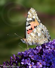Painted Lady (Crazybittern1) Tags: butterflies insects paintedlady sigma70300mmmacro lancashirewildlifetrust heyshamnaturereseve nikond7000