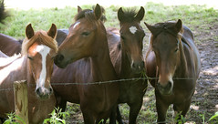 friends...[explored] (carol_malky) Tags: friends horses animals four curious explored