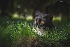 Molly (Katarina Drezga) Tags: cats pets cat kitten kittens felines domesticcat petphotography nikond3100 nikkor55300mm4556gvr