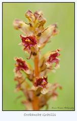 Orobanche gracilis (risla) Tags: plante nikon sauvage orobanche gracilis d7000