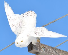 Ready For Takeoff (Explore) (rabidscottsman) Tags: scotthendersonphotography snowyowl nature powerlines flying bird wildlife minnesota wildlifewednedsay vermillionminnesota bluesky nikon nikond7100 d7100 sigma sigma150500 stare owl fly takeoff white black powerpole yelloweyes bolt wood lookingatme outdoors animal dakotacountyminnesota flight carnivore raptor beautiful creature majestic beauty twincities america usa unitedstatesofamerica takingflight explore wow