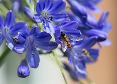 Sunshine, sunshine, it must be summertime... (gilliesavo. Catching up :)) Tags: macro bokeh bees insects flies raindrops agapanthus
