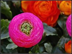 Ranunculus asiaticus#2 (Stefy_P) Tags: pink verde flickr rosa natura fiori piante colori ranunculaceae persianbuttercup ranunculusasiaticus coltivati