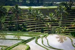 Dans les rizieres de Jatiluwih (Seb & Jen) Tags: bali field indonesia rice terrace terrasse indonesie riz riziere jatiluwih tabanan