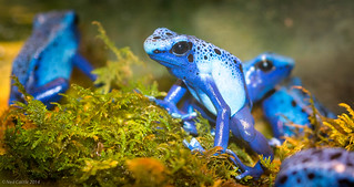Blue Poison Dart Frog - 5586.jpg