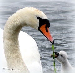 Mum Can I Have Share (Kapturedbythelenz) Tags: nature birds wildlife swans mute cygnets