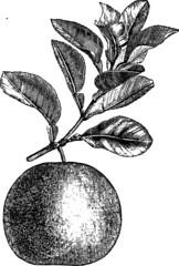 Anglų lietuvių žodynas. Žodis citrus bergamia reiškia citrusinių bergamija lietuviškai.