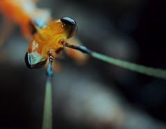 Creobroter pictipennis, L1 (just hatched) (_papilio) Tags: macro canon mantis nikon invertebrate papilio mantid arthropod mpe65 pictipennis creobroter d800e