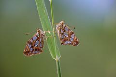 Issoria lathonia (Queen of Spain Fritillary, kleine parelmoervlinder) (Rob Blanken) Tags: sun sunlight macro butterfly butterflies queenofspainfritillary kleineparelmoervlinder issorialathonia nikond800 sigma180mm128apomacrodghsm