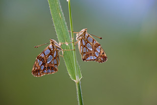 Issoria lathonia (Queen of Spain Fritillary, kleine parelmoervlinder)