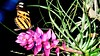Butterfly on flower (jluizmail) Tags: brazil macro nature brasil riodejaneiro butterfly insect wings little bokeh natureza small flor inseto borboleta fotografia brasileiro animalplanet naturalworld asas florzinha desfoque macrofotografia strobist amazinganimals amazinganimal flashoffcamera amazinginsect jluiz jluizmail joãoluizlima flashforadacamera parquenaturalecológicodemarapendi