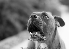 101/104 - A Barking Dog (Jacqueline Sinclair) Tags: dog mouth nose teeth bark boxer brindle jowls
