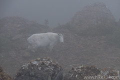 "Mountain Goat • <a style=""font-size:0.8em;"" href=""http://www.flickr.com/photos/63501323@N07/14862337918/"" target=""_blank"">View on Flickr</a>"
