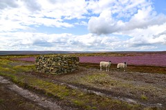 Under an August Sky (Nanny Bean (uploading by email, thanks Forum!))) Tags: sheep heather northyorkmoors nikond600 grousebutts blakeyrigg