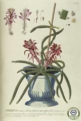 Anglų lietuvių žodynas. Žodis rattail cactus reiškia rattail kaktusas lietuviškai.