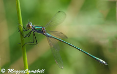 Emerald Damselfly_DSC4158 (maggiecampbell820) Tags: reed insect damselfly emerald lestessponsa