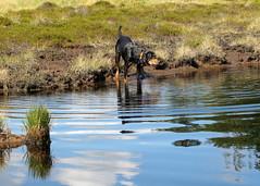 Frakk a molnárpososkákat figyeli / Frakk looking the water striders (debreczeniemoke) Tags: blue autumn dog pond lakeside kutya transylvania bog transilvania tó erdély muskeg ősz frakk kék tópart transylvanianhound láp tőzegláp copoiardelenesc erdélyikopó canonpowershotsx20is transylvanianbloodhound gutinhegység tăulchendroaiei gutinmountains