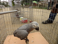 african grey parrot (dotun55) Tags: birds animal parrot nigeria animaltrade