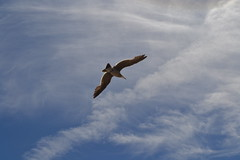 Overhead (I'm a sea) Tags: ocean blue shadow sea sky white bird up look silhouette clouds coast flying wings seagull gull feathers aquatic overhead