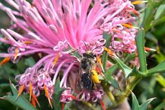 Bee visiting Isopogon (jeans_Photos) Tags: animalia arthropoda taxonomy hymenoptera insecta colletidae leioproctus isopogondubius greenmountbeesjean