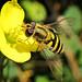 9344 female Syrphus  hover on wild flower