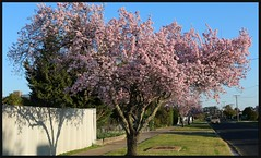 Flowering Street Trees (florahaggis) Tags: flowers winter blossom australia victoria horsham floweringplum streettrees pc3400