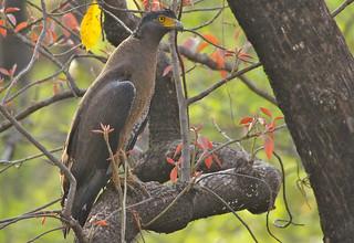 Crested Serpent-Eagle, Satpura Tiger Reserve, India