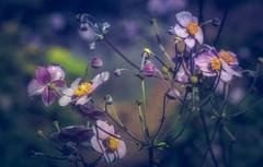 toiles roses au coeur jaune (cb cline) Tags: rose fleurs vert bleu septembre pigamonderochebrune