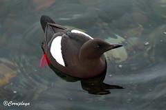Arao Aliblanco Black Guillemot (Cepphus grylle) (Corriplaya) Tags: birds aves escocia blackguillemot cepphusgrylle araoaliblanco corriplaya