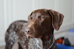  Silent mind   (Jenny Rose.) Tags: dog cute love puppy 50mm scotland nikon pretty pointer gap thoughtful german short elegant 18 haired d7000